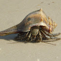 Thinstripe Hermit Crab