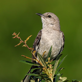 Mocking bird by Anthony Goldman - Animals Birds ( tampa, nature, bird, portrait, wild, mocking, wildlife )