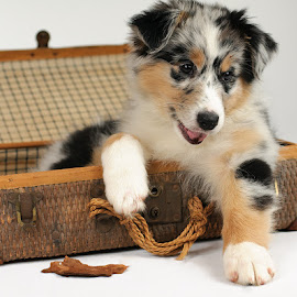 Willow ready to go by Morgan Baumgartner - Animals - Dogs Portraits ( puppies, dogs, puppy, australian shepherd, aussie )