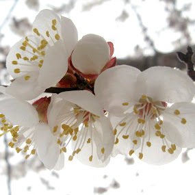 spring by Adriana Petcu - Nature Up Close Flowers - 2011-2013 ( tree, nature, white, spring, flower )