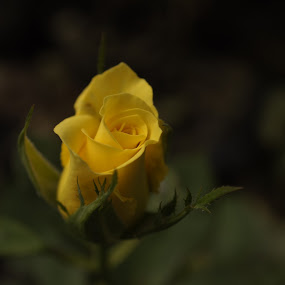 The meaning of true friendship by Afzal Khan - Nature Up Close Flowers - 2011-2013 ( composition., beautiful, plants, rules of third, bloom, yellow, close up, rose, nature, color, emotions, friendship, lovely, bud, small, garden, flower )
