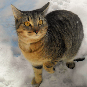 Oliver's First Snow by Liz Pascal - Animals - Cats Playing (  )