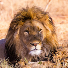Male Lion by Geoff Jordaan - Animals Lions, Tigers & Big Cats