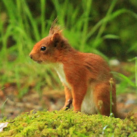 Little Red  by Chris Mcgurgan - Novices Only Wildlife