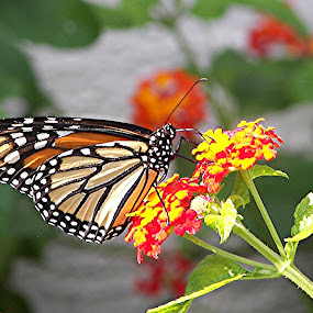 Monarch in lantana garden by Raymond Earl Eckert - Nature Up Close Flowers - 2011-2013
