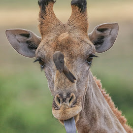 Giraffe by Dirk Luus - Animals Other Mammals ( animals, nature, giraffe, wildlife, mammal )