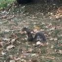 Eastern grey- Squirrel
