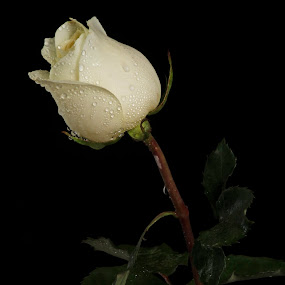white rose by Josefina Macchia - Nature Up Close Flowers - 2011-2013 ( rose, drops, white )