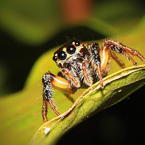 Hello . my name is spidey by Sim  Chee teck - Animals Insects & Spiders ( spidey spider macro )