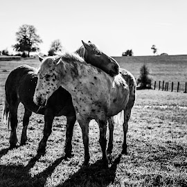 Calin de cheval by Anne-Cecile Pflieger - Animals Horses ( field, animals, annececilegraphic, nature, horses, black and white, horse, meadow, prairie, outside, animal )