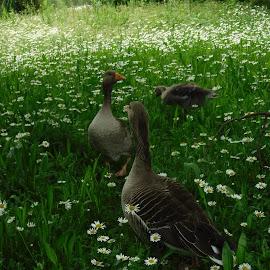 ducks in a row by Elizabeth O - Animals Other