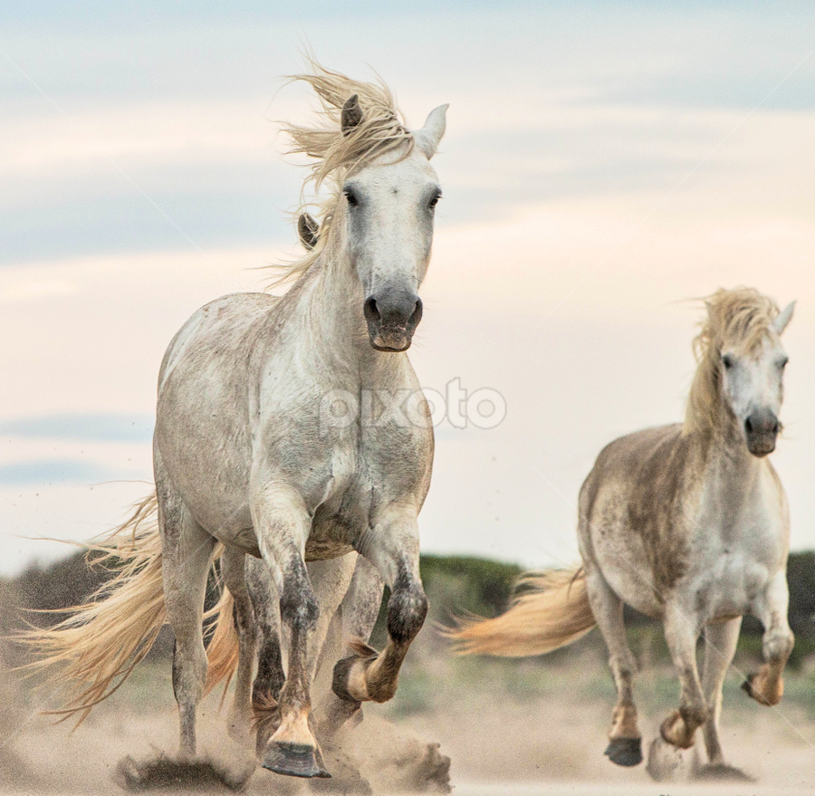 Camargue mares 2 by Helen Matten - Animals Horses ( galloping, mares, sand, wild, horses, camera, camargue, white, towards, the, in )