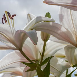 Asiatic Lilies by Wendy Alley - Flowers Flower Gardens (  )