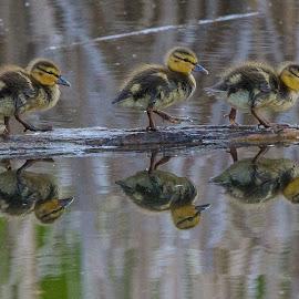 Walk this way by Joe Chowaniec - Animals Birds ( ducklings, nature, ducks, birds )