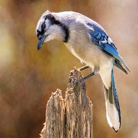 Blue Jay Details by Bill Tiepelman - Animals Birds ( bird, stump, wood, blue jay, jay )