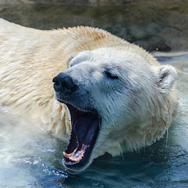 Polar Bear Smile by Vanko Dimitrov - Animals Other Mammals ( smile, spring, polar bear )