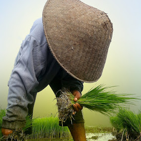 Rice Cultivation by Alit  Apriyana - Instagram & Mobile Android