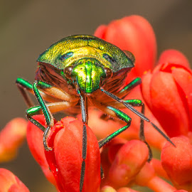 Jewl Bug by Sanjay Dalvi - Animals Insects & Spiders ( nature, bug, insect )
