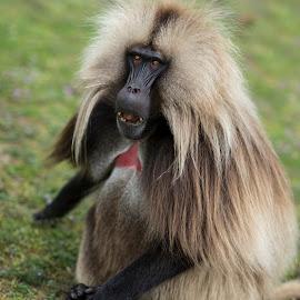 Gelada Baboons by Stanley P. - Animals Other Mammals