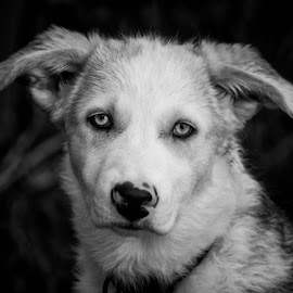 Hinz 57 by Angela Skinner - Animals - Dogs Puppies ( canada, black and white, black and white puppy, funny, sweetheart, cute, shepard, hairy, goober, husky, blue eyes, black and white dog, puppy, baby, malamute,  )