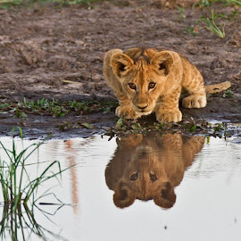 Lion cub reflections@wearewilderness by Ryan Weakley - Uncategorized All Uncategorized ( wildernesssafaris, mombo, okavangodelta,  )