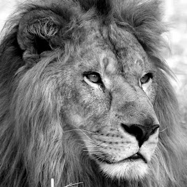 by S Balaji - Black & White Animals ( lion, animals, nature, bigcats, bannerghatta national park )