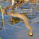 Plain-Bellied Water Snake