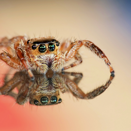 Jump Spider ! by Hafidz Wahyu - Animals Insects & Spiders ( macro art, macrodaily, reflection, macro, macro photography, fujifilm, jumping spider, spider, insects, insect, macro shot, animal,  )
