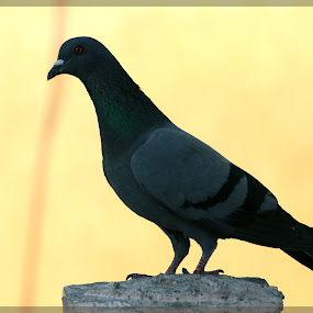 Pigeon by Nikesh Ponnen - Animals Birds