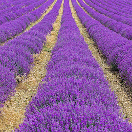 Purple Purple Purple by Simon Shee - Landscapes Prairies, Meadows & Fields ( field, provence, purple, france, landscape, lavender, flower,  )