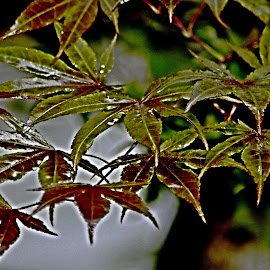 Japanese Maple Leaves After the Rain by Te-ge Watts Bramhall - Novices Only Flowers & Plants ( water, japanese maple, summer, leaves, rain )