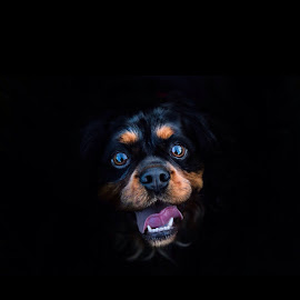 Oscar by Kieran O Mahony  - Animals - Dogs Portraits ( doggie, brown eyes, face, doggy, happy, pet, dog portrait, brown, pooch, dog, portrait, black, eyes,  )