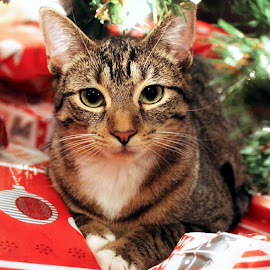 These Gifts Are All Mine!  by Amanda  Castleman  - Public Holidays Christmas ( animals, cat, tree, pet, christmas, gifts )