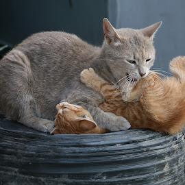 by Radomir Perin-Rasa - Animals - Cats Playing