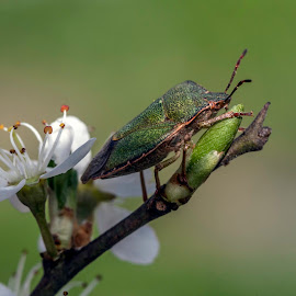 shield bug by Eddie Leach - Animals Insects & Spiders ( nature, macro photography, bug, insect, flower )