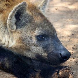 Hyaena Resting by Ingrid Anderson-Riley - Animals Other
