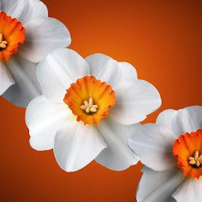 Sunburst by Paul Griffin - Flowers Flower Arangements ( orange, nature, lily, white, flower )