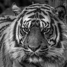 Kubu by Garry Chisholm - Black & White Animals ( nature, mammal, tiger, big cat, garry chisholm )