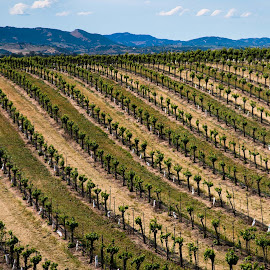 Paso Robles Vineyard by Jebark Fineartphotography - Landscapes Prairies, Meadows & Fields ( abstract, wine, farm, vineyard, california, natural, panorama, rural )