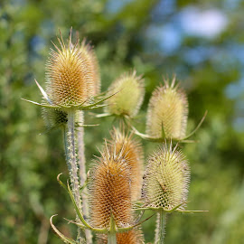 Thistles by Jenny Rose - Nature Up Close Leaves & Grasses (  )
