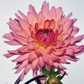 beautiful dahlia by LADOCKi Elvira - Flowers Single Flower