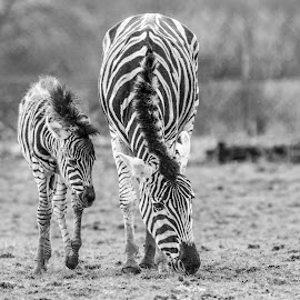 Black and white by Garry Chisholm - Black & White Animals ( nature, garrychisholm, zebra, young, mammal, foal )