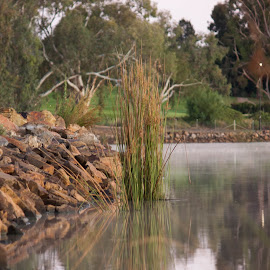 Reeds at The Lake by Daniel Wheeler - Landscapes Waterscapes ( water, australia, summer, lake, morning, rocks, reeds )
