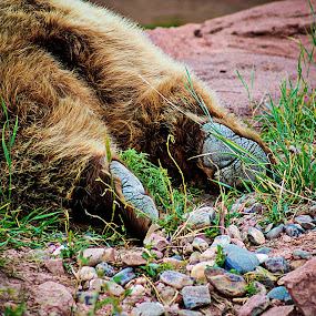 Bear Getting A Drink by Christy Patino - Animals Other Mammals ( bear, mammals, bears, bear country usa, wildlife, bear country, mammal )