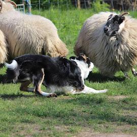Dino bij de schapen  by Debby Emmerig - Animals - Dogs Running