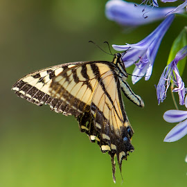 Swallowtail by Terry Armstrong - Animals Insects & Spiders ( tiger swallowtail, butterfly, butterflies, insects, swallowtail )