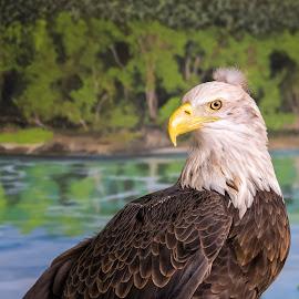 Baldy With A View by Bill Tiepelman - Animals Birds ( bird, bird of prey, eagle, nature, bald eagle, wildlife, scenery, scenic )