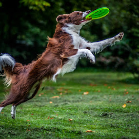 by 'Monique Smit - Animals - Dogs Playing ( dogfrisbee dog  dogs )