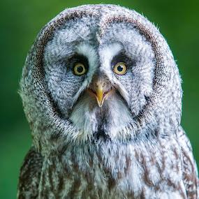 Great Grey by Darren Whiteley - Animals Birds ( bird, owl, yellow, eyes )