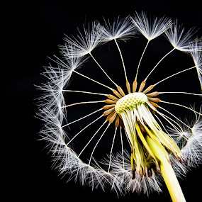 The Wheel by Jon Hunter - Nature Up Close Flowers - 2011-2013 ( abstract, macro, dandelion, wheel, floral )
